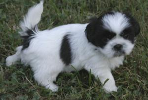 AKC Top quality SMALL pups