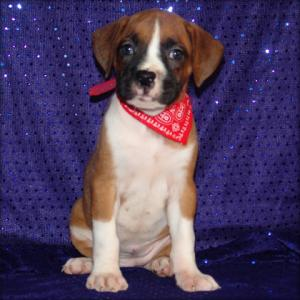 affectionateandcuteboxerpuppiesforadoptiont