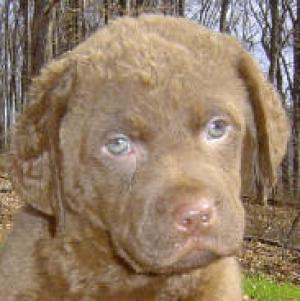 ChesapeakeBayRetriever
