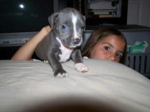 BeautifulPitbullPuppiesforSale