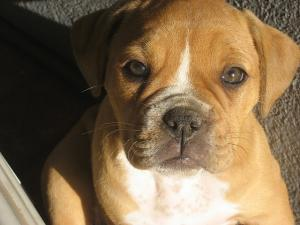 OldeEnglishbulldogPuppies