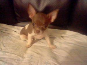 ChihuahuaPuppiesforsale