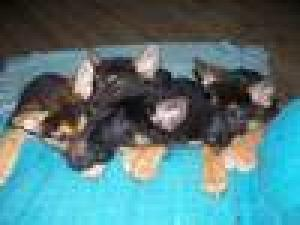 AKCGermanShepherdPuppiesForSale-