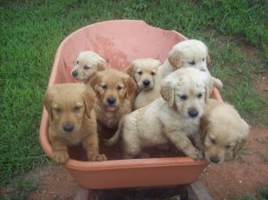 GoldenRetrieverPuppiesforsale-AKC