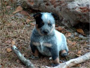 CKCRegisteredBlueHeelerPuppies