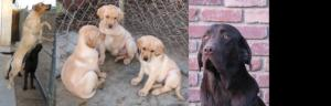 AKCYellowLabradorPuppies-AVAILABLETODAY