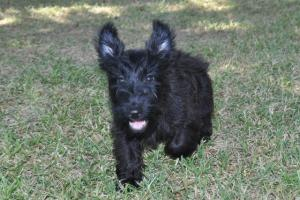 ScottishTerriers