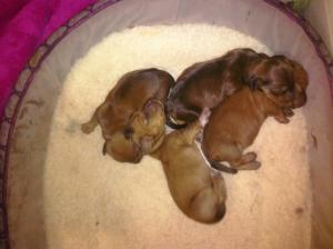 NewbornDachshundPuppies