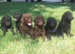 StandardPoodlePuppiesBaltimore