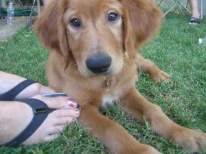 Goldenretrieverforsale-weeksold