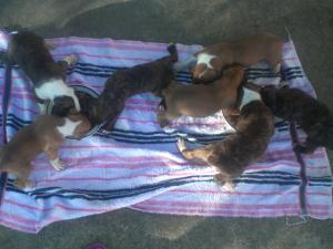 AKCBOXERPUPPIES-WEEKSOLD