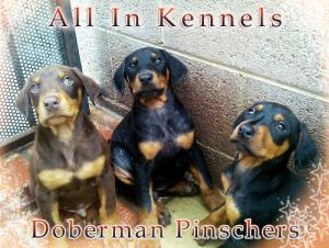 DobermanPinscherPuppies