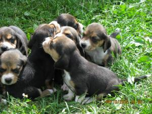 AdorableAKCReqisteredTri-ColorBeaglePuppies