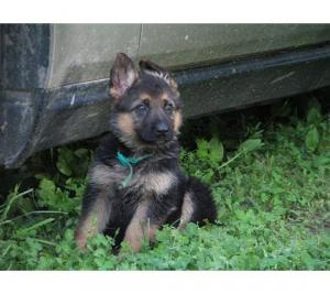German Shepherd   puppies available at poddarkenne