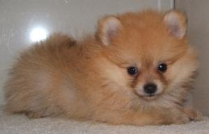 registeredPomeranianpuppies