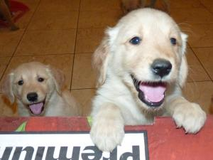 AKCgoldenretriverpuppies
