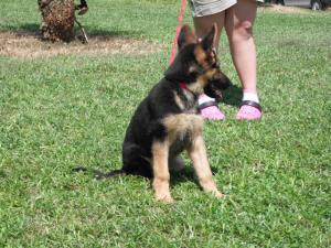GermanShepherdPuppies