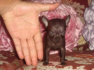 chihuahua pocket size for sale, gorgeous little gi