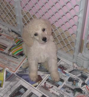 AKCStandardPoodlePuppies
