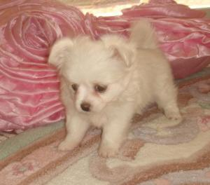 pomeranian puppy for sale, little girl tiny