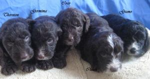 adorable cute cockapoo puppys for sale