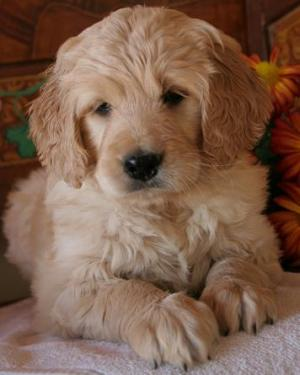 F1B Goldendoodle Puppies!