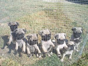 Six AKC Litter registered pug puppies
