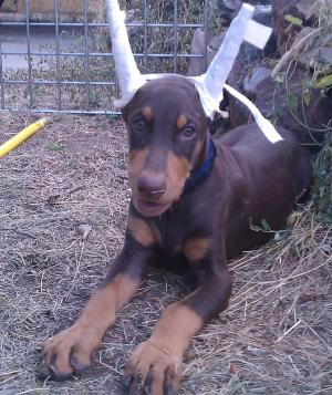 GorgeousAKCDobermanPinscherpuppy