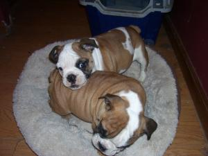 BeautifulAKCenglishbulldogpuppies