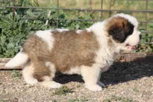 AKC CH pedigree -family friendly pup