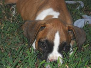 AKCBoxerPuppies-