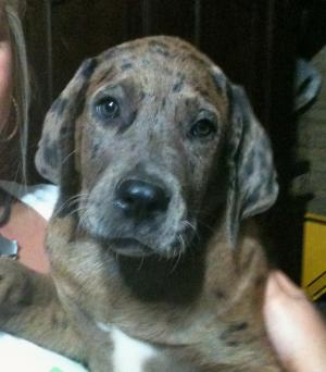 CatahoulaMastiffsPuppiesforsale