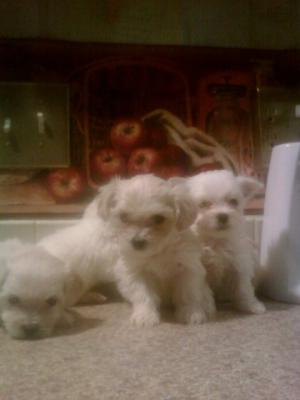 beautifulmaltesepuppiesforsale