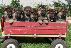 GorgeousGermanShepherdPuppiesAKC