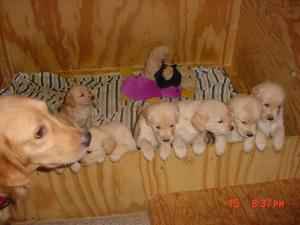 Cutegoldenretrieverpuppies