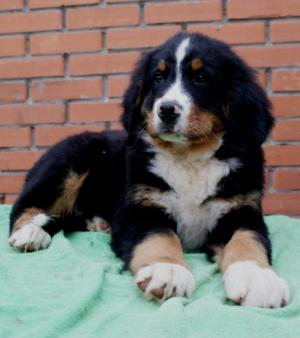 BerneseMountainDogpuppiesforsale