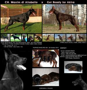 Dobermannpuppies