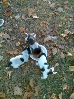 bluebeaglepuppies