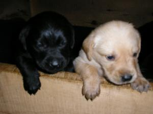 GoldenLabPuppies