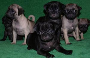 AdorablePugPuppies