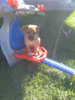 Very cute and Adorable Puggle Puppy (Male) DOB 08/