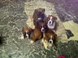 cuteboxerpuppies