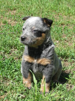 FemaleBlueHeelerPuppiesForSale