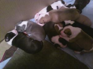 AmericanPitBullTerrierPuppies
