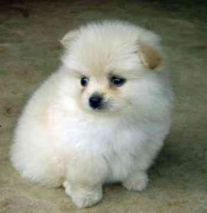 Pomeranian Puppies  for sale  at  x-mas