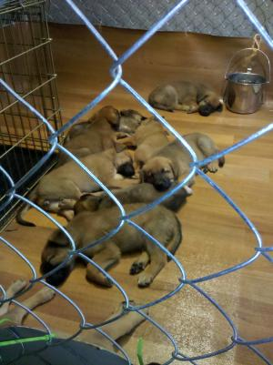 Belgian Malinois/ Bloodhound Mix Puppies for Adopt