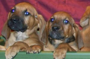 BloodhoundPuppies