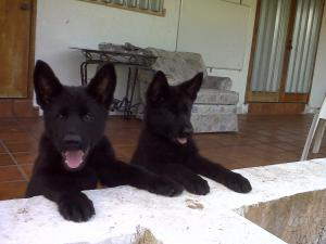 GermanShepherdPUPPIES-SUPERBEuropeanBloodlin