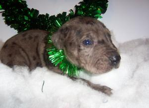 ChristmasPuppiesForSale