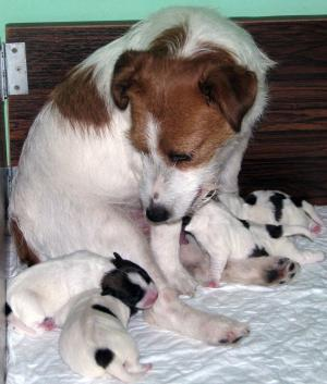 JackRussellTerrierpuppies-males